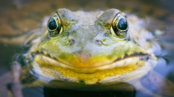 A close-up on a frog
