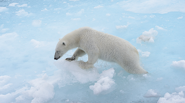 Polar bear struggling on the ice